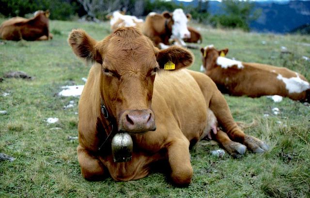 Jak przywrócić równowagę mikroflory u krów?