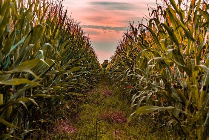Uprawa kukurydzy – poradnik
